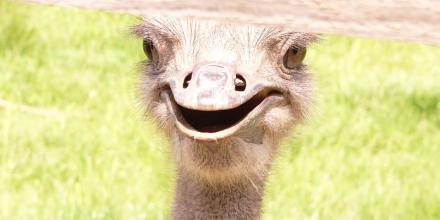 страусина-ферма
