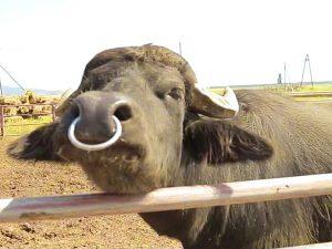 Виноградів ферма Карпатський буйвіл