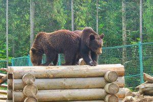 Центр реабілітації бурих ведмедів у Національному природному парку Синевир