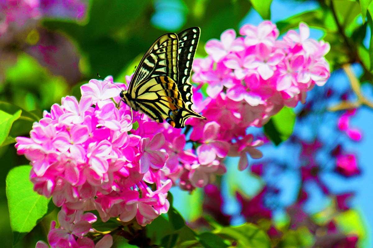 Екскурсія в Корсунь - цвіте бузок