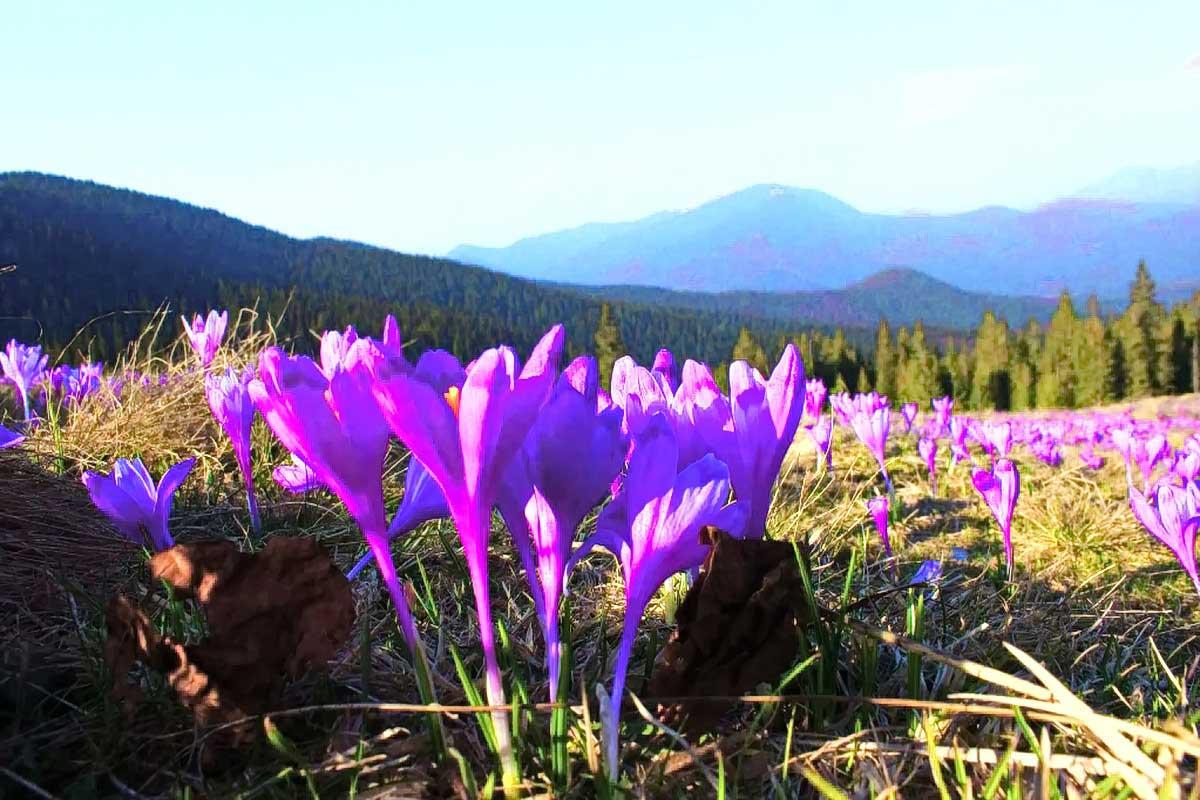 Тури в Карпати - Цвітіння крокусів / подорож по Карпатам