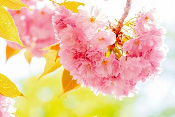 Цветение сакуры в Ужгороде 2019