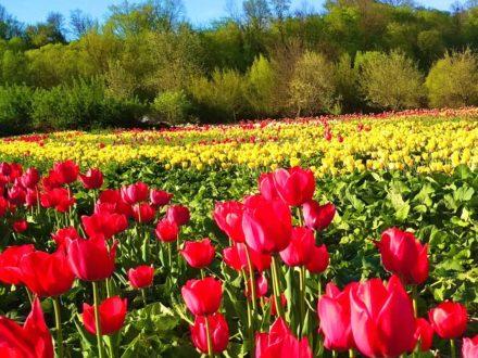 Долина тюльпанов - Тур со Львова в Черновцы