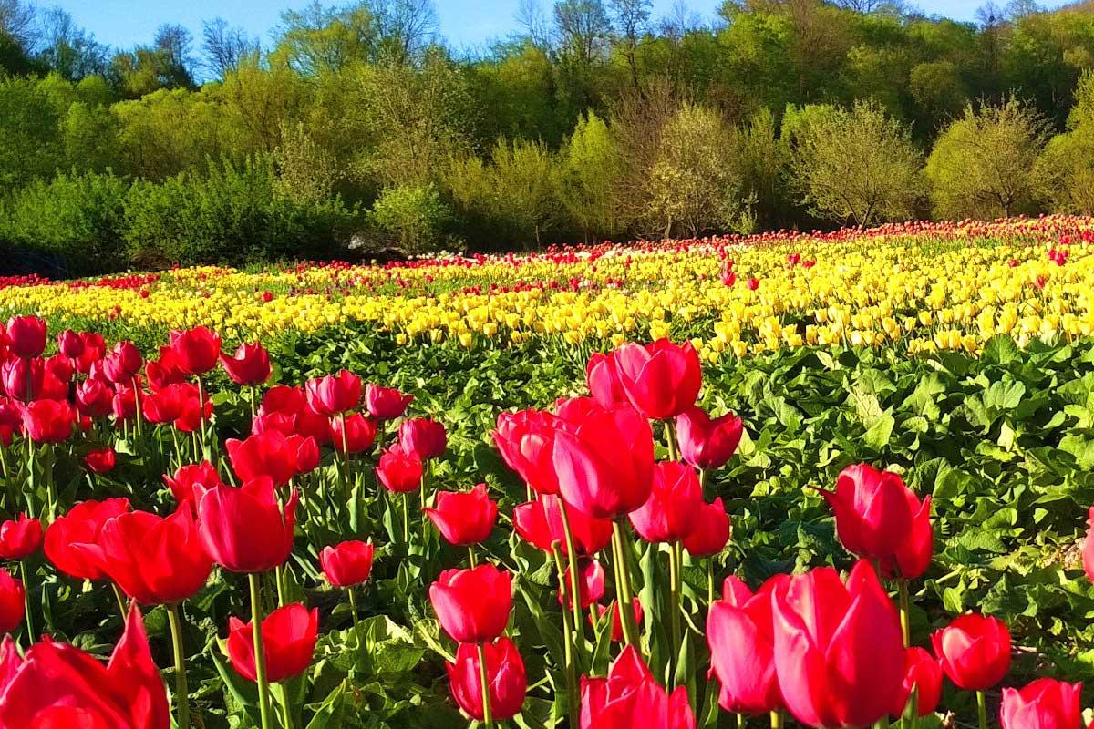 Долина тюльпанів - Тур зі Львова до Чернівців / Тур на тюльпани з Чернівців