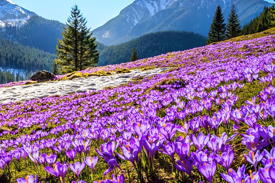 Коли цвітуть крокуси в Карпатах / Де цвітуть крокуси
