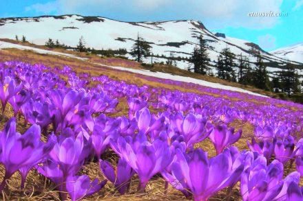 Когда цветут крокусы в Карпатах | Долина крокусов Карпаты