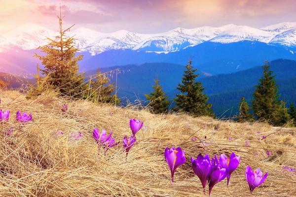 Коли цвітуть крокуси в Карпатах? Долина крокусів Карпати