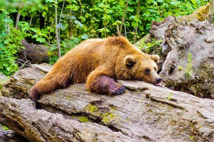 """Реабілітаційний центр для бурих ведмедів """"Синевир"""""""