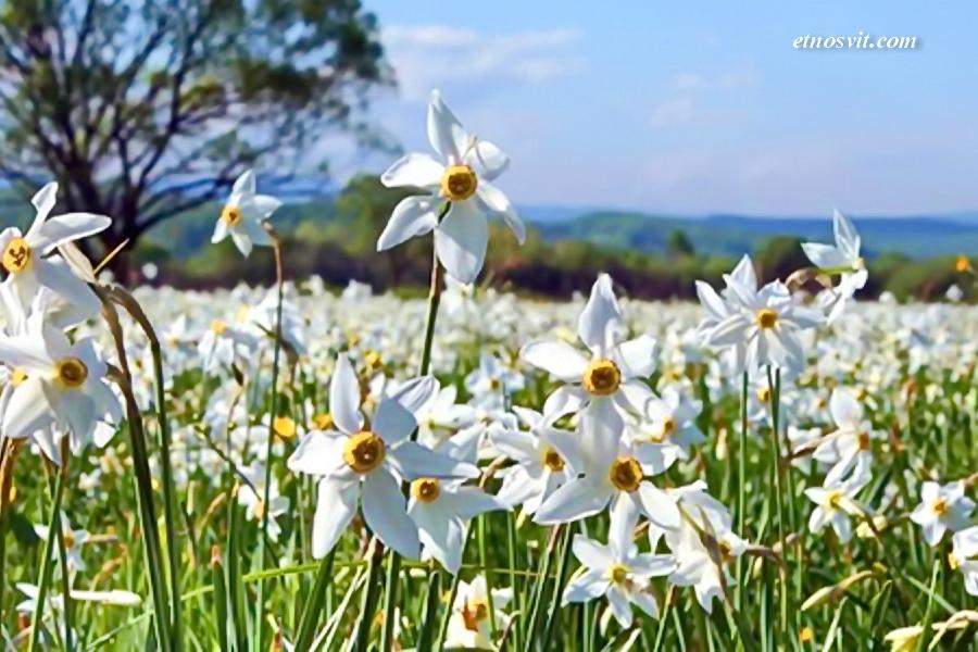 Цвітіння Долини нарцисів